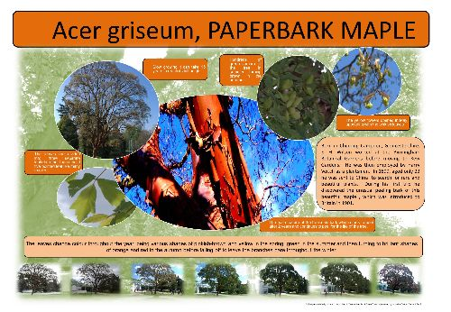 A poster explaining more about the Paperbark Maple