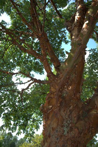 The trademark peeling bark and summer foliage