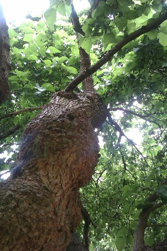 Looking up the trunk into the dense canopy of leaves