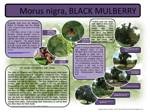 A large posters explained more about the Black Mulberry.