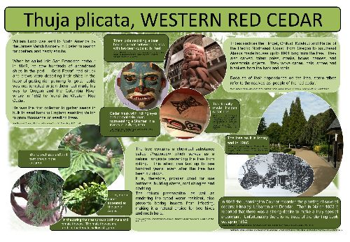A poster explaining more about the Western Red Cedar