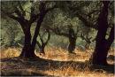 Olive Grove Autumn.