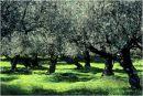 Olive grove in December
