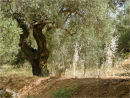 Olive trees and sunlight