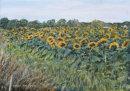 Sunflower Field, Lancashire