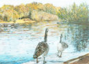 Canada Geese, Hollow Ponds