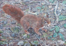 Red Squirrel, Formby Woods