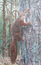 Red  Squirrel Climbing, Formby Pinewoods