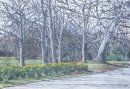 Sefton Park Daffodils C