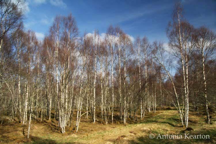 Birch in April