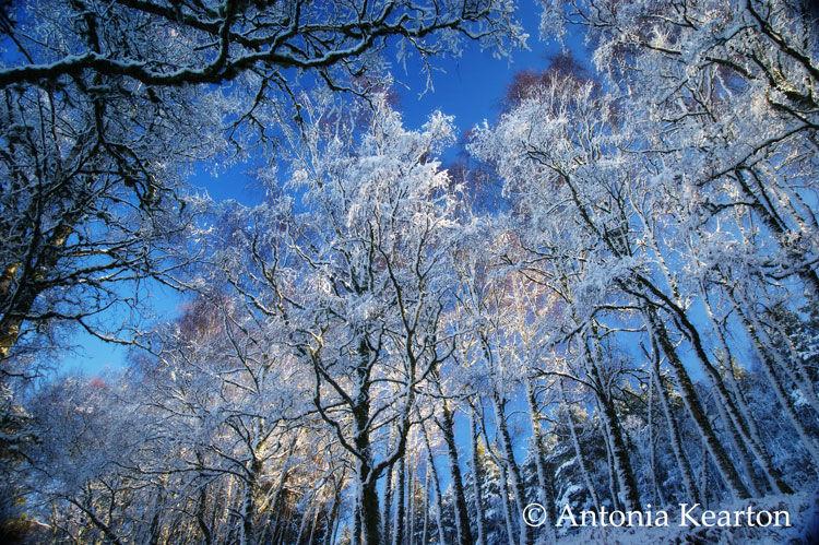 Birches in the Snow
