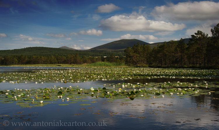 Loch Garten Waterlillies