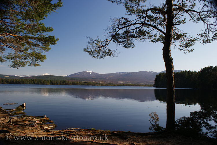 Loch Garten Reflections