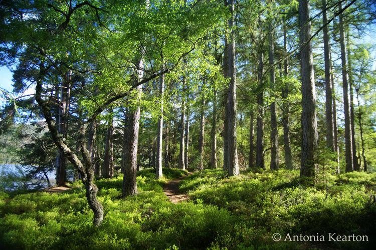Spring Woods, by Loch an Eilein