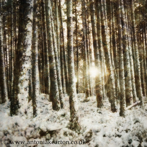 Midwinter Sun, Dell Woods