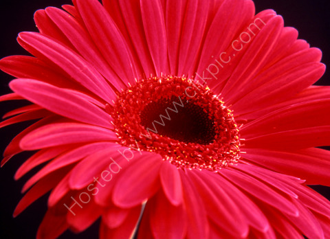 RUBY RED GERBERA. FLOWER