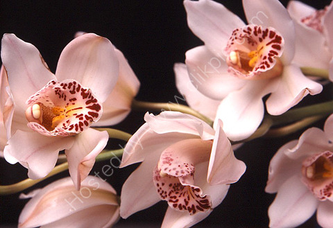 ORCHIDS. FLOWER