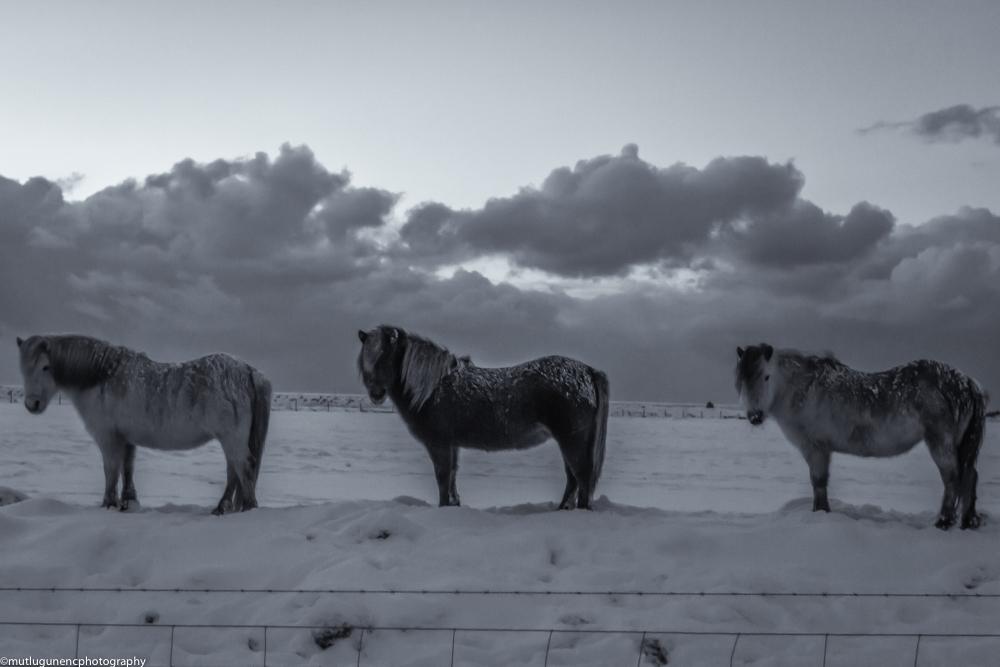 3 Icelandic horses
