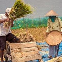 Rice-Harvest