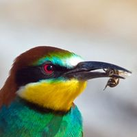 Fast food for a bee eater (P1)