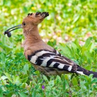 Hoopoe with breakfast