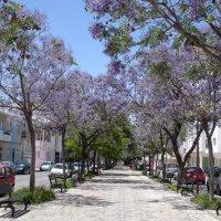 Jacarandas in Loule