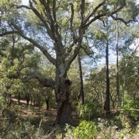 Old cork oak