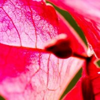 Life veins of bougainvillea bloom -