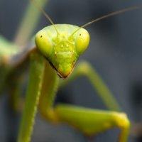 Praying Mantis]