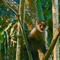 Capuchin - Costa Rica