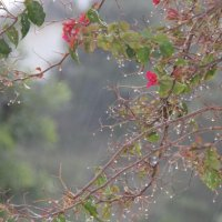 Rain on Bougainvillea