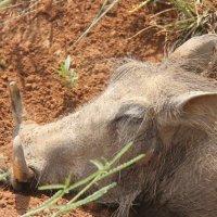 Sleeping Warthog