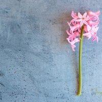 hyacinth on slate