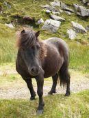 Pony on Bere Island