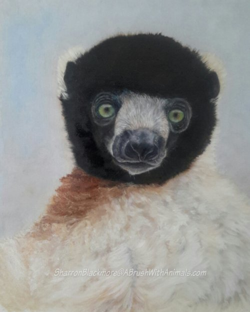 Crowned Sifaka (SOLD)