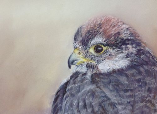 Lanner Falcon (Sold)