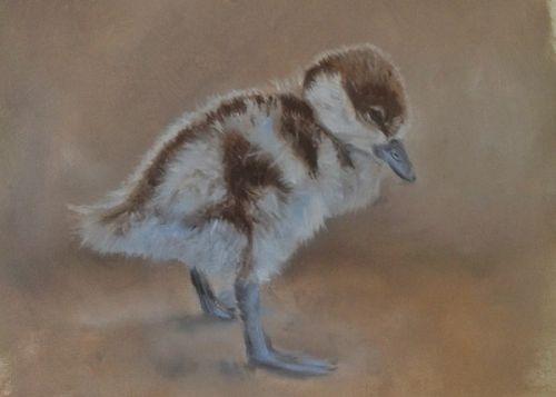 Ruddy Shelduck Chick