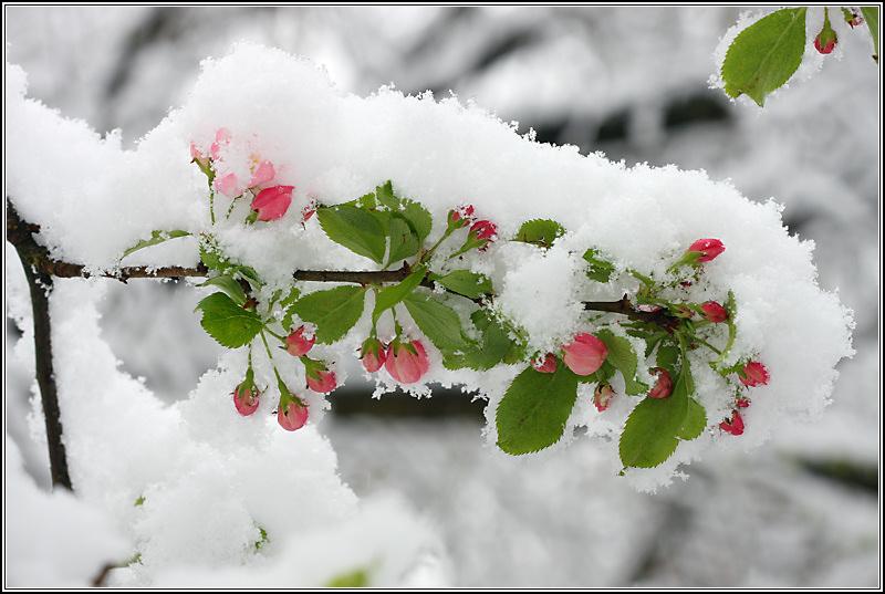 Apple Blossom Snow