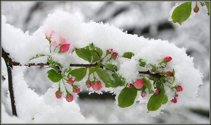Crab Apple Blossom in Snow