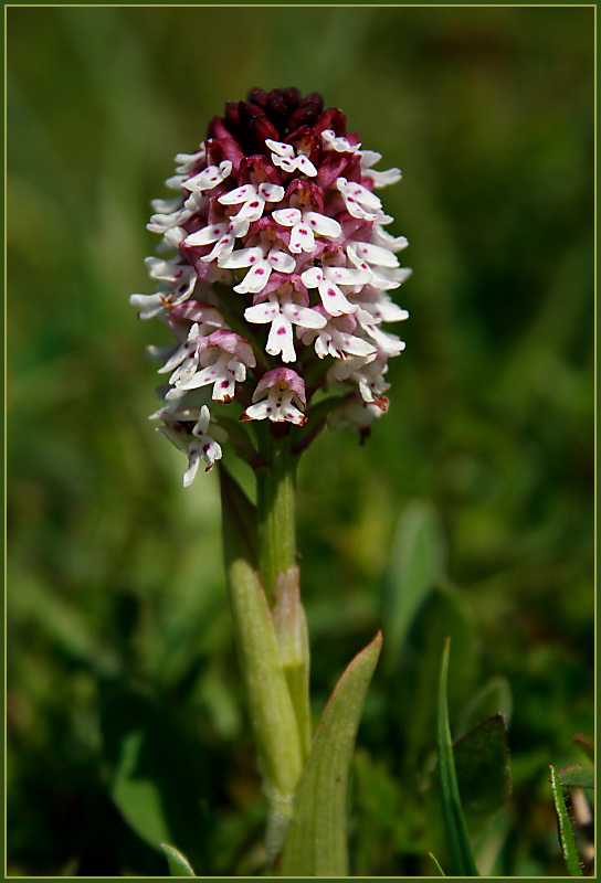 Burnt-Tip Orchid