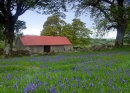 Bluebells and a Barn