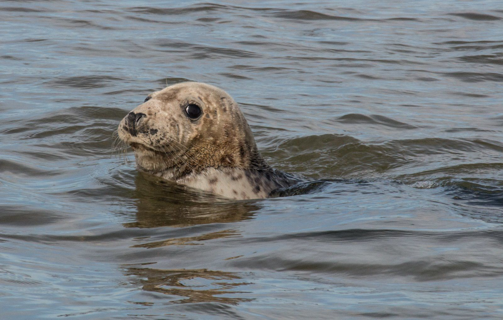 Grey Seal Halichoerus grypus