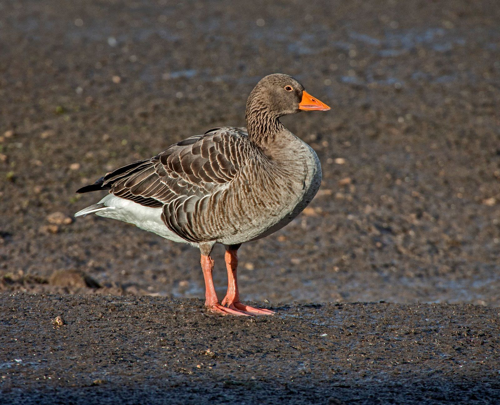 Greylag Goose Ansa ansa