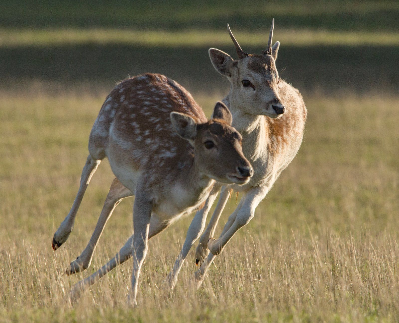 Fallow Deer male and female
