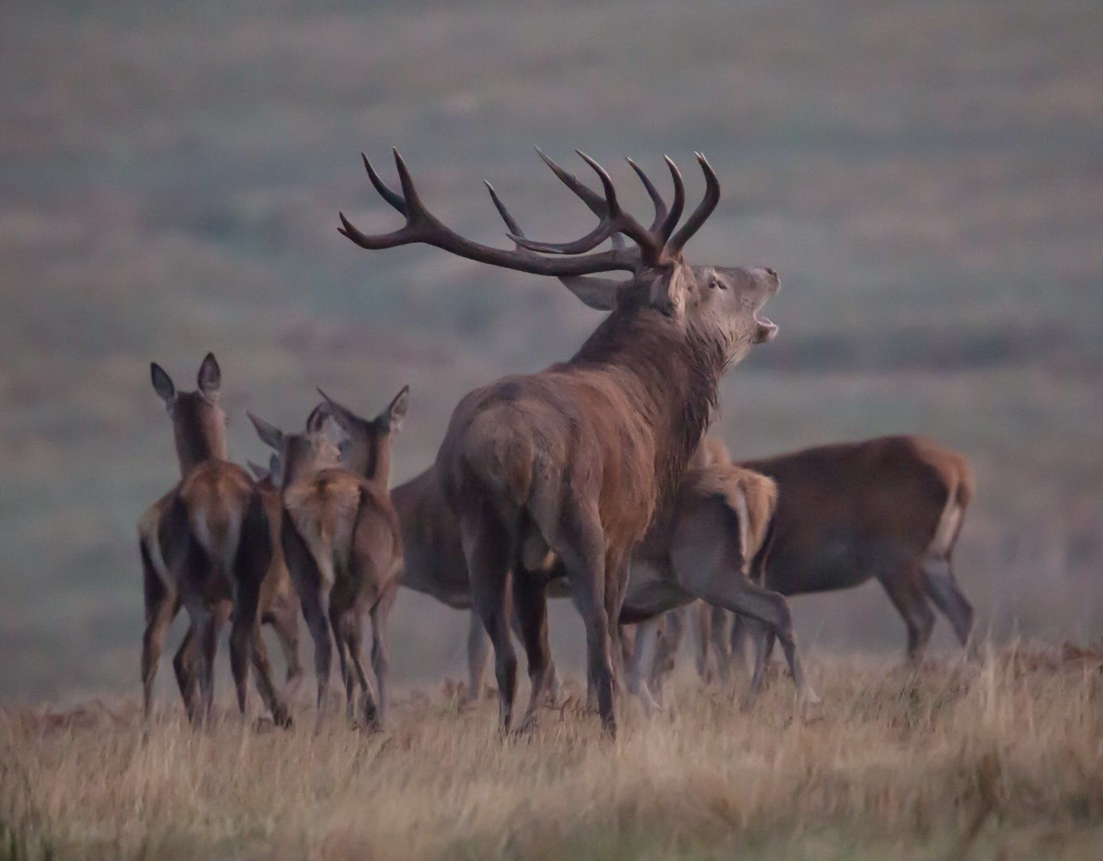Red Stag with females