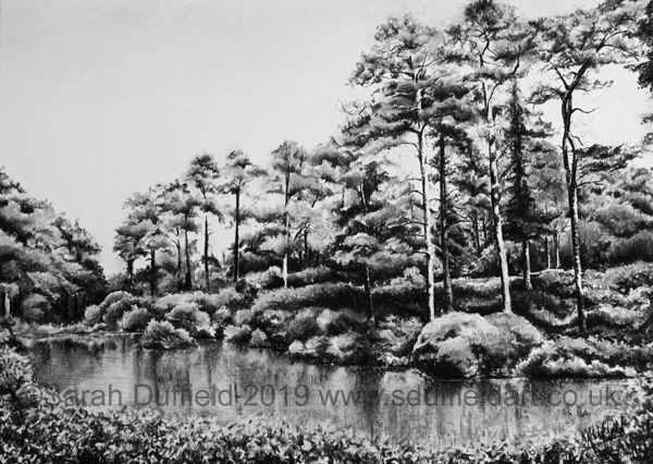 A charcoal drawing by Sussex artist Sarah Duffield. A still lake is lined by a bank and shrubbery, on the far side tall conifers recede in groupings along the bank creating a dramatic composition.