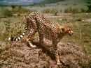 Cheetah at Masai Mara Game Reserve Kenya