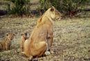 Lioness, Masai Mara Game Reserve, Kenya