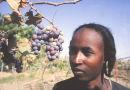 Fulani boy guarding grape vines