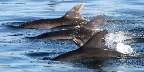 Dolphins at Arisaig